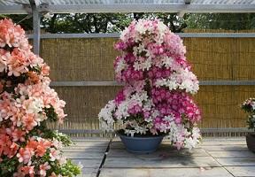 「第68回 名古屋城さつき大会」を開催します。の画像